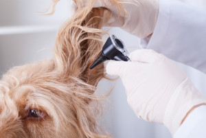 Dog during having otoscope examination at surgery